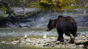 Mussel Inlet, Great Bear Rainforest, British Columbia, Grizzly Bear, Elizabeth McSheffrey