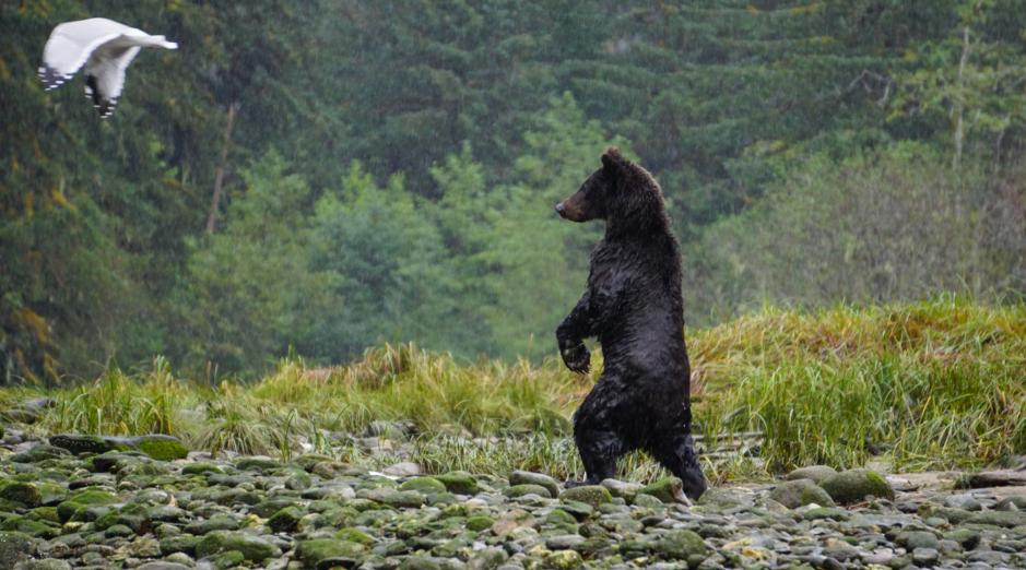 Great Bear Rainforest, grizzly bear, Mussel Inlet, Elizabeth Around the World, Elizabeth McSheffrey