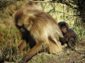 Gelada baboons, Simien Mountains, Ethiopia, Elizabeth Around the World, Elizabeth McSheffrey