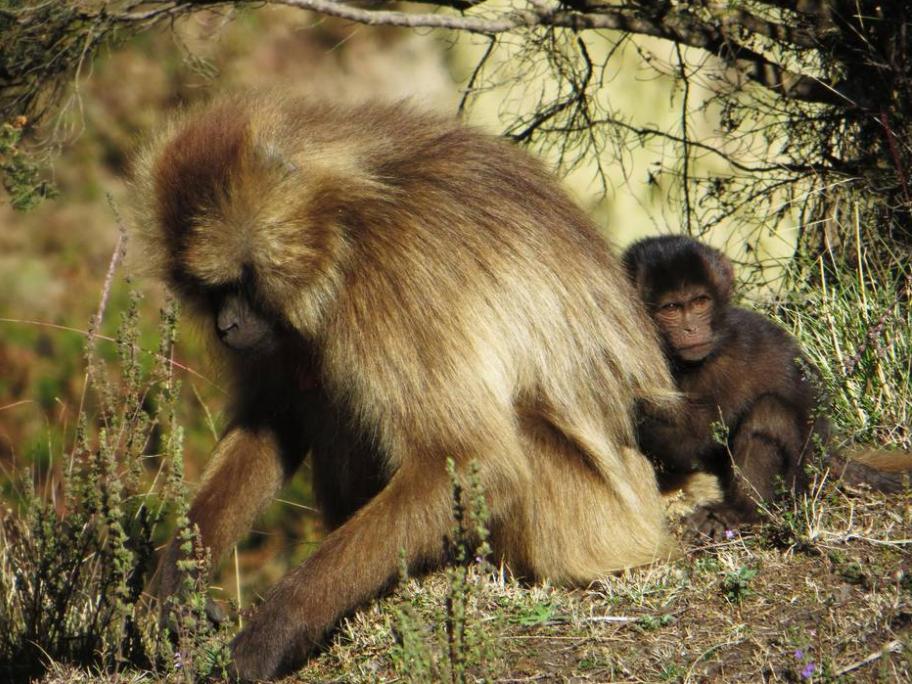 Gelada baboons, Simien Mountains, Ethiopia, Elizabeth Around the World, Elizabeth McSheffrey